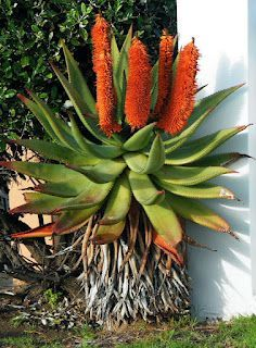 A MESA Aloe Seeds Rare Herb Plant Polyphylla Rotation Aloe Vera Queen Seeds Bonsai Succulents Seed for Home & Garden Unusual Flowers, Unusual Plants, Rare Plants, Exotic Plants, Beautiful Flowers, Cacti And Succulents, Planting Succulents, Planting Flowers, Agaves