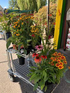 beginner-friendly perennial flowers Daffodil Bulbs, Daffodils, Pansies, Blueberry Bushes, Low Maintenance Plants, Flowers Perennials, Types Of Plants, Gardening For Beginners, Vegetable Garden