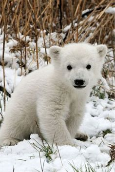 Adorable polar bear cub.