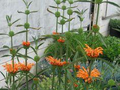 Lion's Tail - interesting specimin plant. Leonotis_leonuru _Lions_Tail_Wild_Dagga_Lions_Ear_Xeriscape_Design_Austin