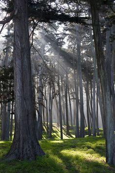 radivs:  'Trees in the Presidio' by Sam Hay
