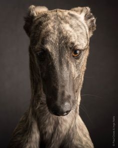 Risultati immagini per paul croes greyhound Most Beautiful Dogs, Lurcher, Grey Hound Dog, Crazy Dog, Dog Portraits, Dog Photography, Dog Photos, Mans Best Friend, I Love Dogs