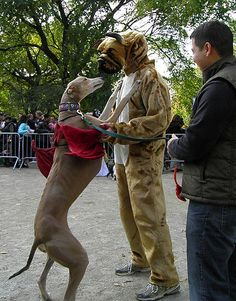 Greyhound dances with Person in Dog Costume   Flickr - Photo Sharing!