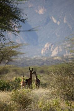 Gerenuk - one of Shaba's rather special 'Northern Five'