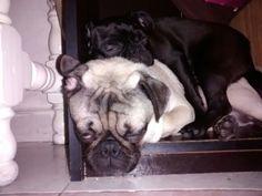 Pugs durmiendo una mas comoda que otro, jiji