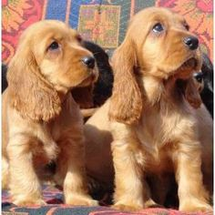 PURE BRED GOLD COCKER SPANIELS - READY FROM 8 WEEKS     7 WEEKS OLD NOW, WORMED, VACCINATED, MICROCHIPPED.  3 MALES AND ONE FEMALE, RAISED IN FAMILY HOME, VIEW PARENTS.  Holding deposit of $300 will secure your new family pet.  Excellent outgoing temperament, loving affectionate nature, good homes - https://www.pups4sale.com.au/dog-breed/410/Cocker-Spaniel-(English).html