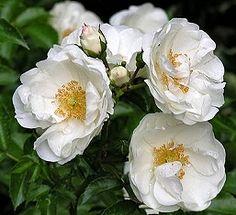'Innocencia' - syn. 'Country of Yorkshire' - Kordes (2003) - ADR 2003 - AGM 2012. Uitbundige bloei met halfgevulde, zuiverwitte bloemen (5cm) in grote trossen. Sterk en zeer ziekteresistent. 50cm x 50cm