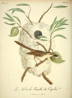 t. 3 - Histoire naturelle des oiseaux d'Afrique / - Biodiversity Heritage Library