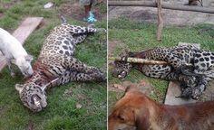Honduras: Matan a felino y lo publican en Facebook Indignados han reaccionado varias personas luego que un felino fue asesinado en el sector de Patuca, departamento de Olancho.  Las fotos fueron subidas a la red social por Lusiapana Jacson, quien explica que el animal era un peligro para los pobladores y el ganado. http://www.latribuna.hn/2016/12/04/honduras-matan-felino-lo-publican-facebook/