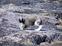 Elfshot: Sticks and Stones: Arctic Hare Arctic Hare, Sticks And Stones, Animals, Animales, Animaux, Animal, Animais