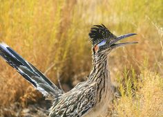 Roadrunner:  NM State Bird; william dalton on flickr