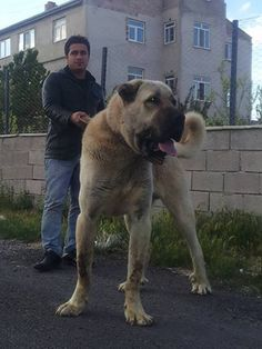 Kangal ( Karabaş) Huge Dogs, Giant Dogs, Le Plus Grand Chien, Mans Best Friend, Best Friends, Kangal Dog, Anatolian Shepherd, Large Dog Breeds, English Mastiff