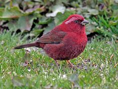 The Taiwan rosefinch (Carpodacus formosanus) is a species of finch in the Fringillidae family.