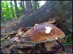 polskie grzyby - borowik szlachetny - boletus #grzyby #mushroom #grzybobranie #borowik #prawdziwek #szlachetny #borowik  #forest #na_grzyby ##grzyby #jadalne #grzybki #grzyby_w_Polsce #zbieranie_grzybów #grzybiarz #Beskidy #Poland #lasy_Polskie #Polskie_grzyby