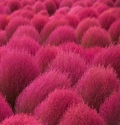Kochia Scoparia Summer Cypress is a hardy and drought-tolerant foliage plant grown as ornamental as well as forage plant. It is a quick growing plant that tends to form rounded or pyramid body of dense leaves and branches.
