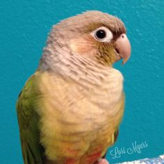 Cinnamon mutation green cheek conure