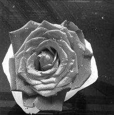 blooming of a red rose - in negative