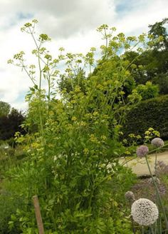 Lovage- Bountiful Gardens