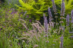 pennisetum karley rose - Google Search