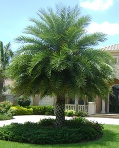 51 Ideas Landscaping Around Trees Front Yards Driveways Florida Landscaping, Tropical Landscaping, Landscaping Plants, Tropical Garden, Front Yard Landscaping, Modern Landscaping, Palm Trees Garden, Landscaping Around Trees, Landscaping With Rocks