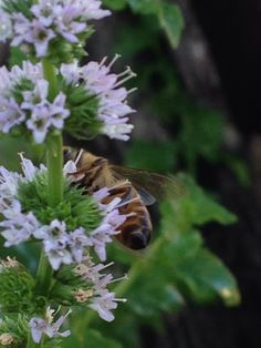 Bee on a fresh mint plant
