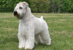 soft coated wheaten terrier haircut photos soft coated wheaten terrier dog breed information Terrier Dog Breeds, Wheaten Terrier, Terriers, Dog Haircuts, Easy Bun Hairstyles, Eating Ice Cream, Group Of Dogs, Diy Dog Treats, Beautiful Dogs