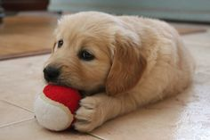Golden puppy with his first ball