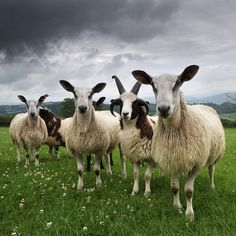 Photo by @JimRichardsonNG: Say cheese! Blue faced Leicester and Jacobs sheep gather