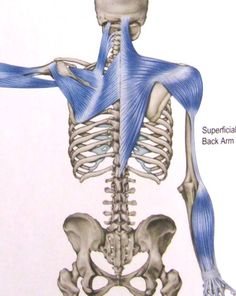 When we start to understand the concept of fascia we can truly grasp why our body may start to feel pain in our right shoulder and then before know it our left hip and our left toe! It seems to transcend our understanding. Before we understand it we ca Fascia Stretching, Trigger Point Therapy, Muscles In Your Body, Muscle Anatomy, Muscle Body, Anatomy And Physiology, Reflexology, Neck Pain, Human Anatomy