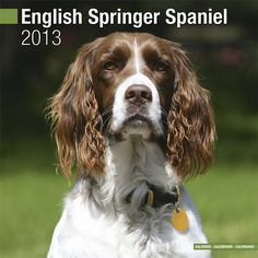 Engelse Springer Spaniel Kalender 2013 (euro)
