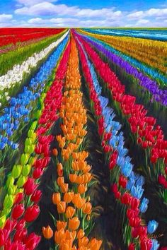 Holland is the land of tulips. Every year millions of tulips transform large parts of Holland into colorful fields.
