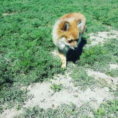 He looks like a little #Fox  #FunnyAnimals #Dog #Dogs #Pomeranian #FunnyDogs #FunnyDogPictures #ILoveMyDog #WhoRescuedWho #Puppy #PuppyLove #DogsInTheGrass #TrueLove #ThisIsTheLife #PuppyPhotography #PuppyPlaying #Puppies #DogLover #CuteAnimals #CutePomeranian #PomeranianChihuahua #ChihuahuaPomeranian #SmallBreed #SmallDog #CuteGuy #FluffyPuppy #TinyDogs Image By: mariawalk11 http://bit.ly/teacupdogshq