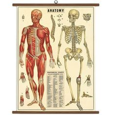 Ready-to-hang oversized vintage chart of our complex anatomy, printed on heavy-weight Italian paper stock. Each chart is packaged in a heavy-weight kraft tube. Beautiful images from the Cavallini & Co