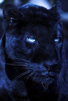 Pantera Negra es una variación negra (melanismo) de varias especies de grandes félidos, en especial del leopardo (Panthera pardus) y del jaguar (Panthera onca).