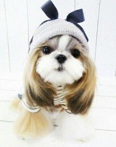 Cute dog shih tzu, long hair on ears gives her an adorable do.