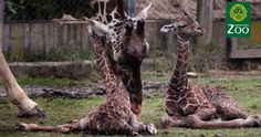 Petition: Investigating Zoo management for the death of two giraffes