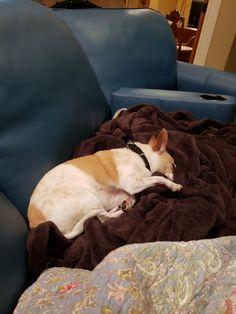 Peter Piper, Boston Terrier, Dogs, Animals, Boston Terriers, Animales, Animaux, Pet Dogs, Doggies