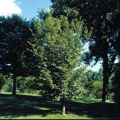 Carpinus caroliniana H: 8m x L: 7m site hydro qc