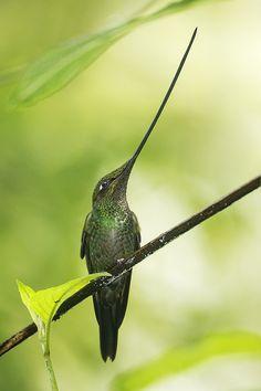 Perched Swordbilled Hummingbird | Love that bill!