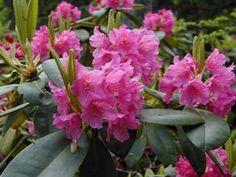 Rhododendron tigerstedtii-gruppen 'Raisa', rhododendron. Höjd: 0,9 m. Zon III.