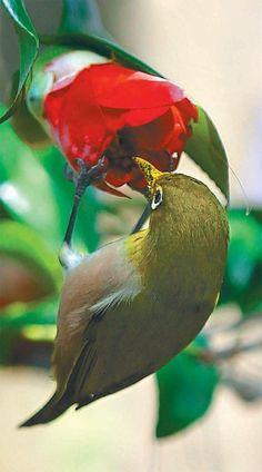 Korean white-eye eating the nectar of camellia in Jeju island of South Korea