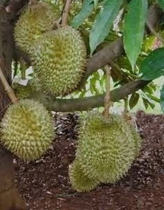 The Durians, King of Fruits