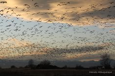 Flock of Geese at Barr Lake in Brighton Colorado (Available for Purchase)
