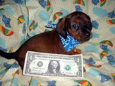 dollar bill baby dacshund