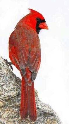 Red bird craft mom 67 ideas for 2019 Pretty Birds, Beautiful Birds, Animals Beautiful, Exotic Birds, Colorful Birds, Watercolor Feather, Tattoo Watercolor, Cardinal Birds, Bird Crafts