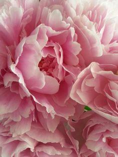 Zomer 2013 ze zijn er weer Pioen rozen.