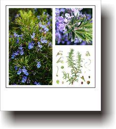 PLANTE MEDICINALE – ROZMARIN Healing, Frame, Home Decor, Plant, Picture Frame, Decoration Home, Room Decor, Frames, Home Interior Design