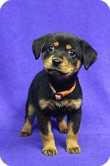 1/13/17 Westminster, CO - Sheltie, Shetland Sheepdog/Shepherd (Unknown Type) Mix. Meet BETTY, a puppy for adoption. http://www.adoptapet.com/pet/17385377-westminster-colorado-sheltie-shetland-sheepdog-mix