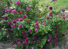 Rosa 'Cardinal de Richelieu'. Once-flowering Gallica.