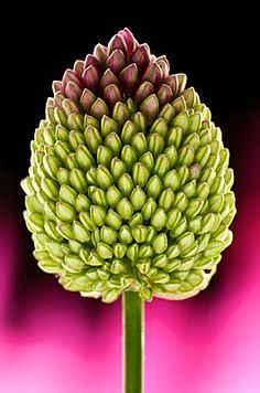 ~~ Allium 1973 by Andy Small ~~